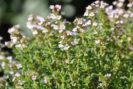 thymus-vulgaris-pic-2016-fotolia