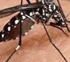 Brasil produzirá mosquito transgênico para combate à dengue