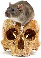 The big grey rat in a human skull